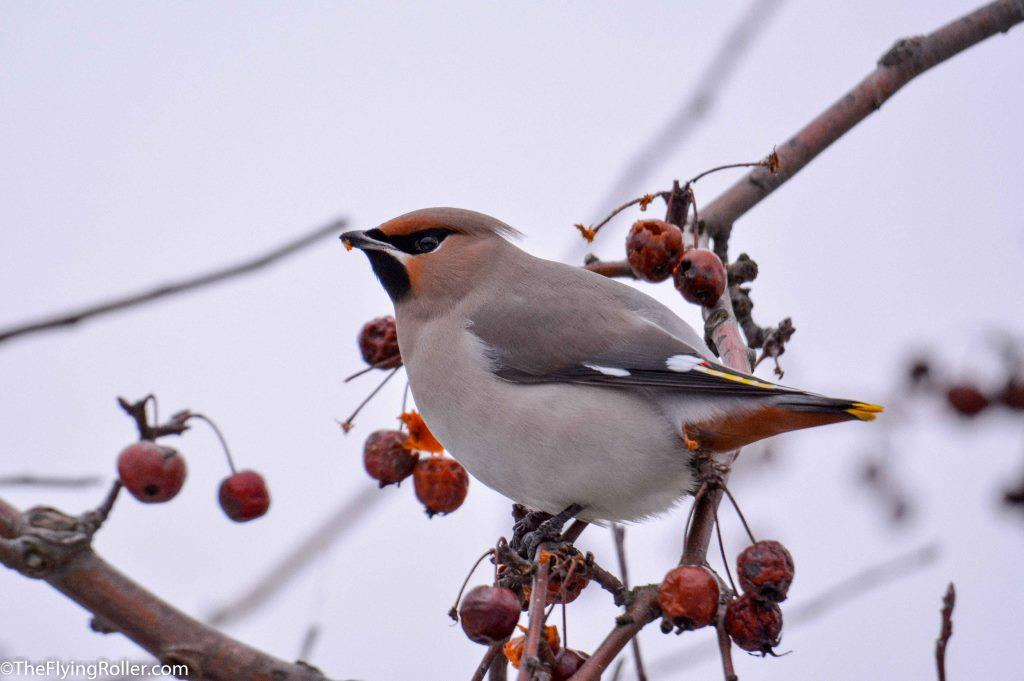 Lonely Bohemian Waxwing feasting on the berries